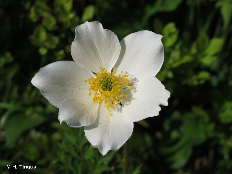 Anemone alpina
