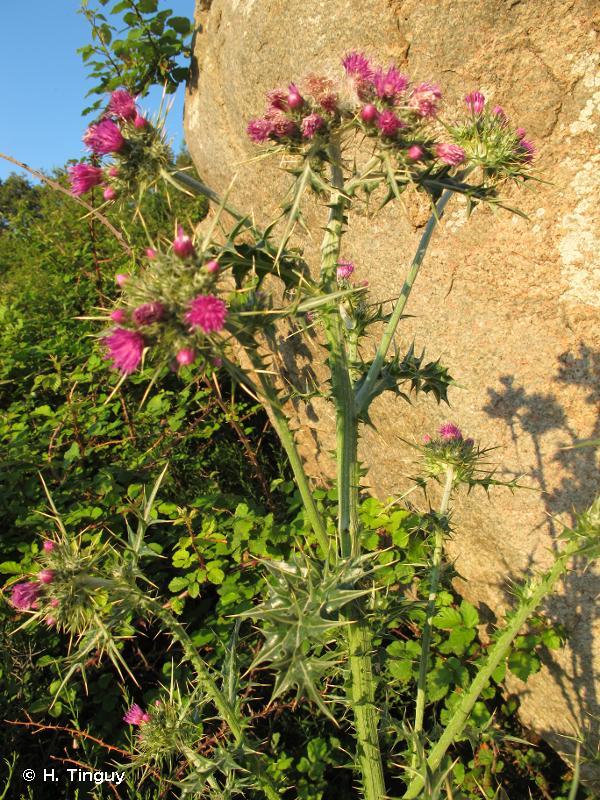 Cirsium italicum