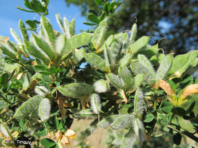 Cytisus villosus