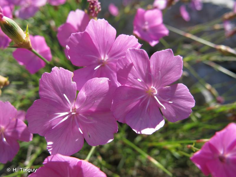 Dianthus pungens
