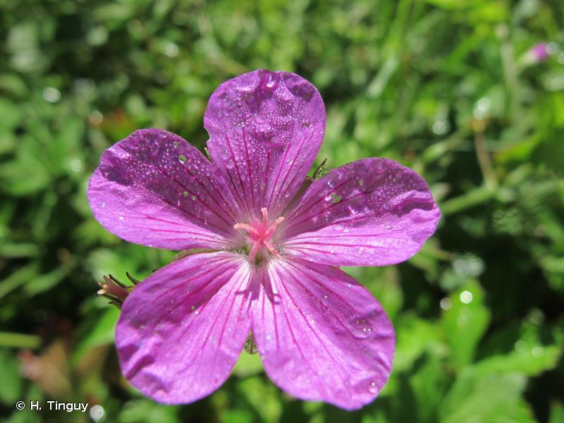 Geranium palustre