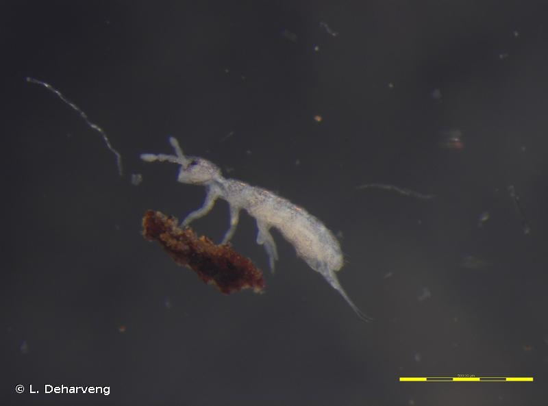 Parisotoma notabilis