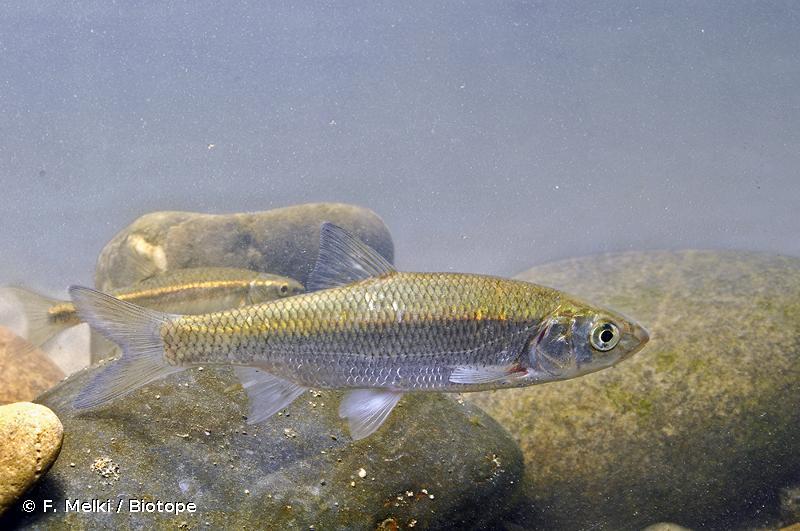 Leuciscus bearnensis