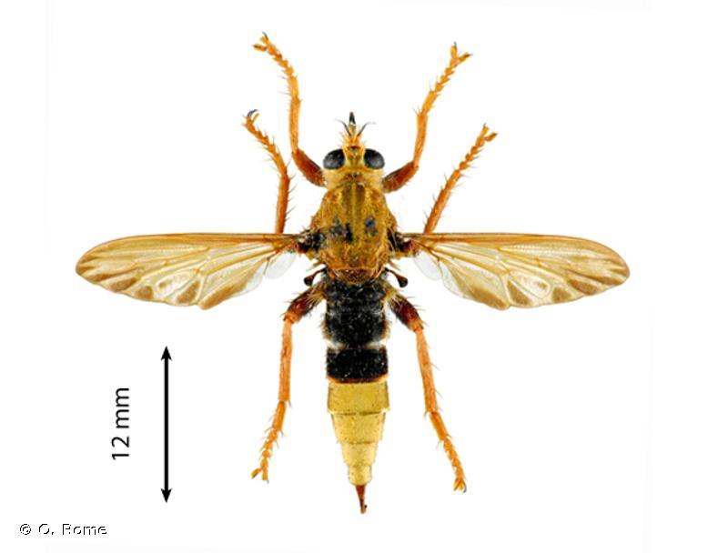 Asilus crabroniformis