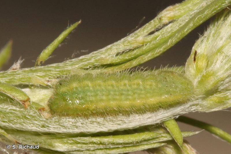 Polyommatus dolus