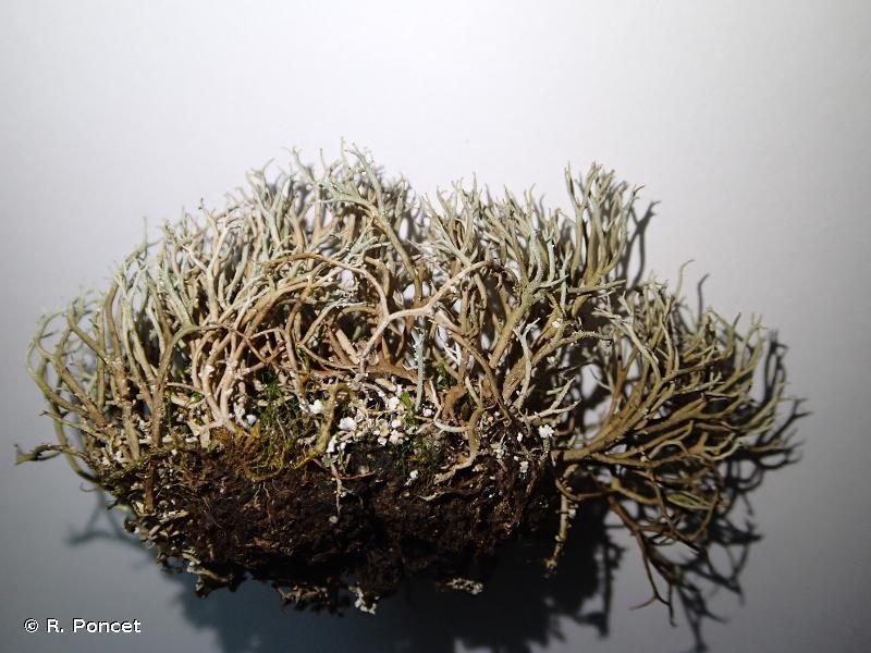 Cladonia furcata subsp. furcata
