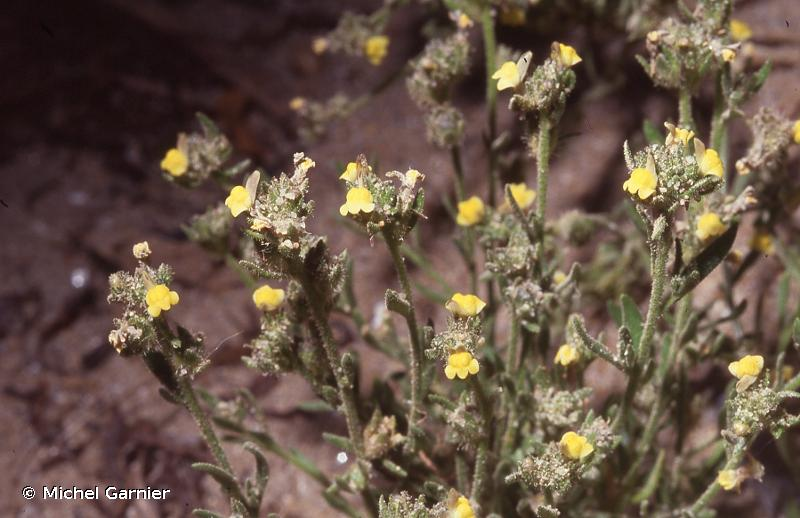 Linaria arenaria
