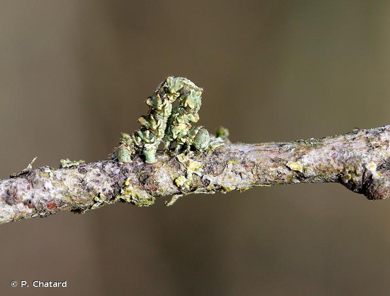 Cleorodes lichenaria