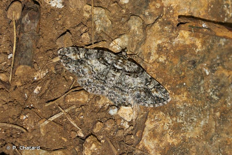 Cleora cinctaria