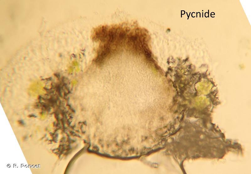Punctelia subrudecta