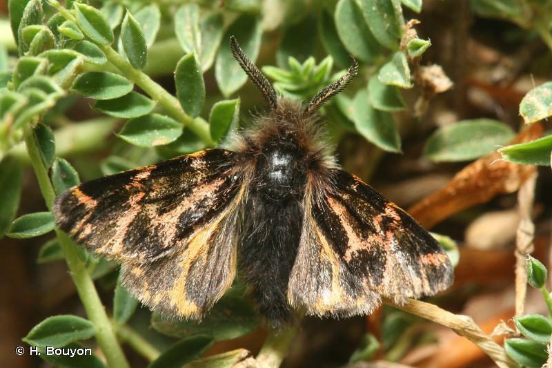 Ocnogyna corsica