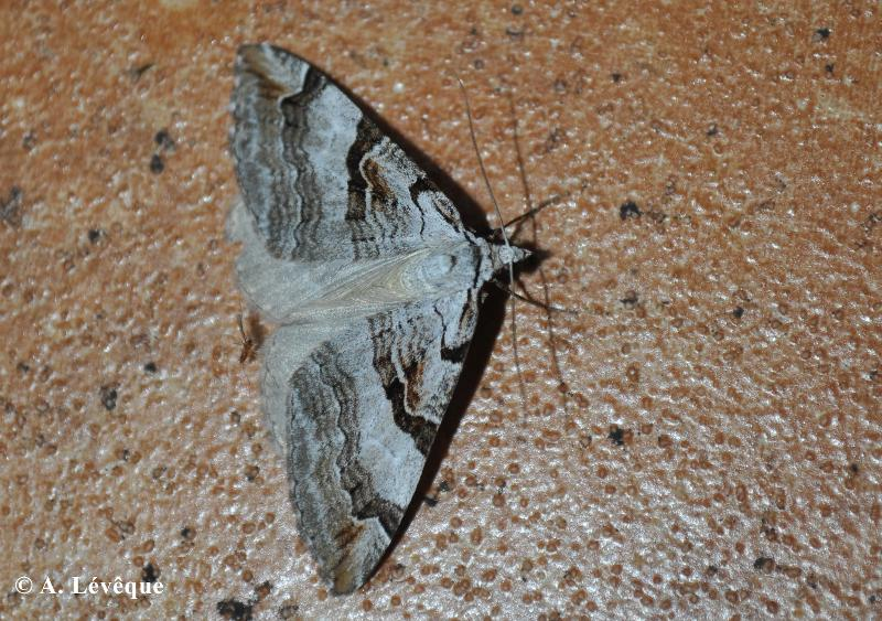 Aplocera praeformata