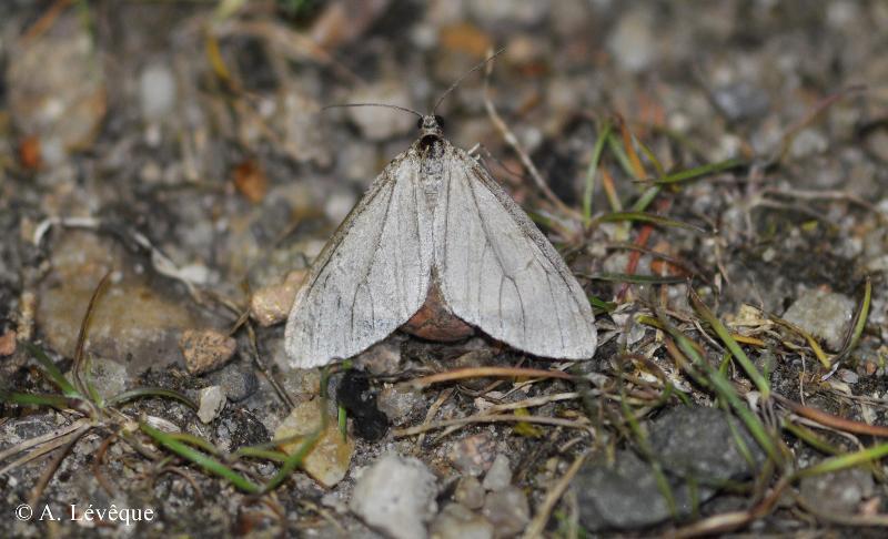 Trichopteryx carpinata