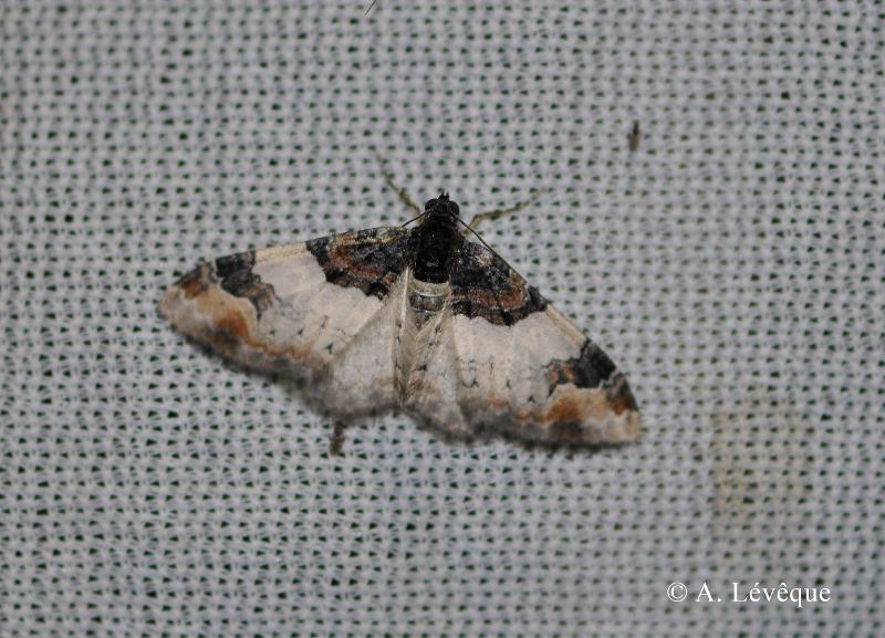 Catarhoe cuculata