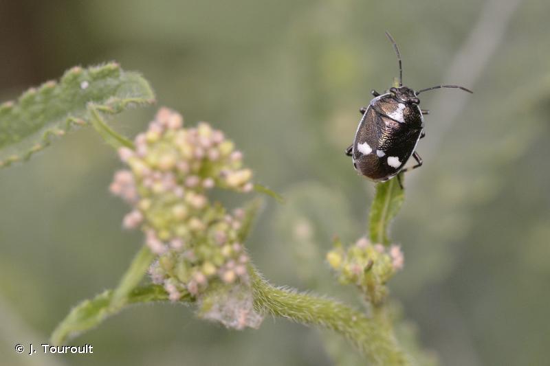 Eurydema oleracea