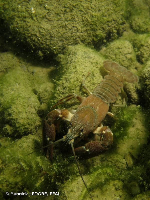 Pacifastacus leniusculus