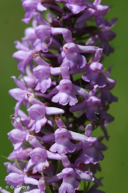 Gymnadenia densiflora