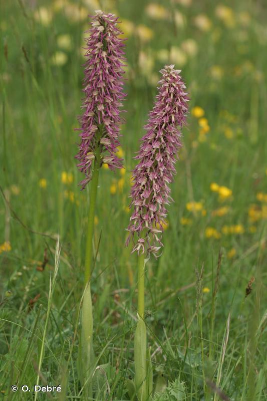 Orchis x bergonii