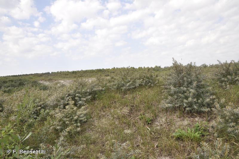 2160 - Dunes à <em>Hippophae rhamnoides</em> - Habitats d'intérêt communautaire