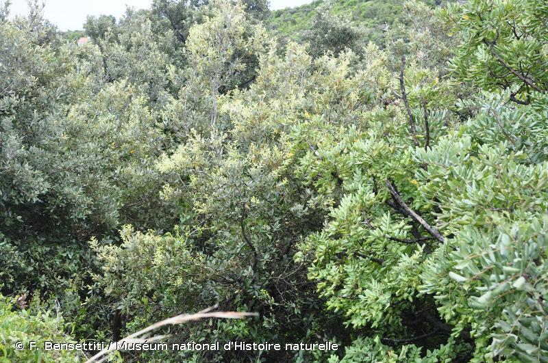 9320 - Forêts à <em>Olea</em> et <em>Ceratonia</em> - Habitats d'intérêt communautaire