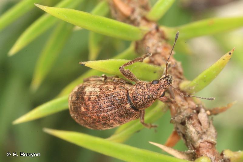 Polydrusus griseomaculatus