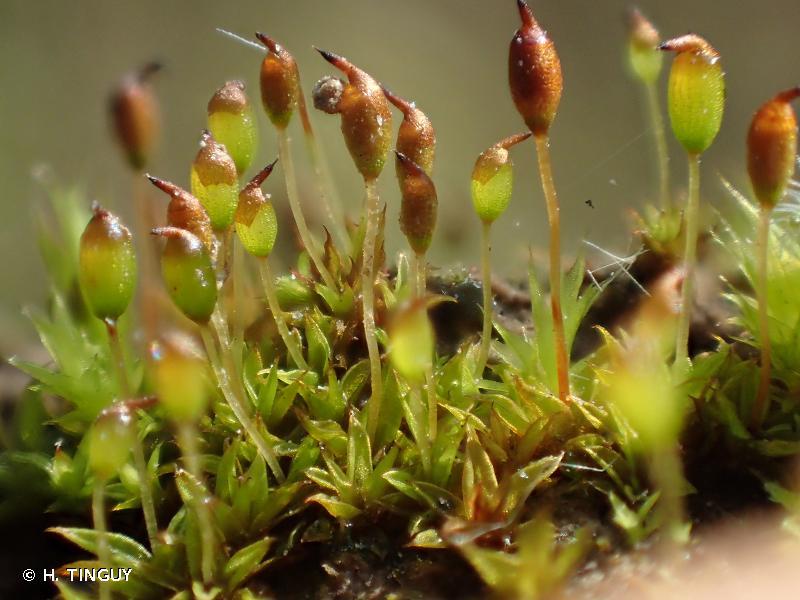 Microbryum davallianum