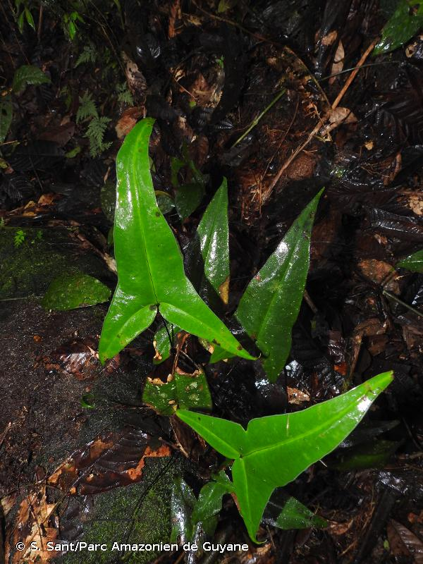 Doryopteris sagittifolia