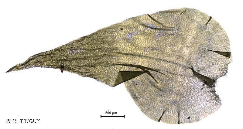 Hylocomiadelphus triquetrus
