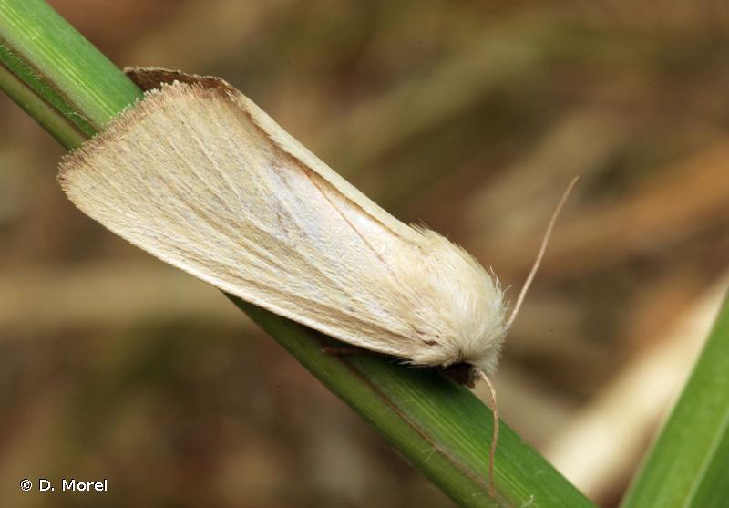 Arenostola phragmitidis