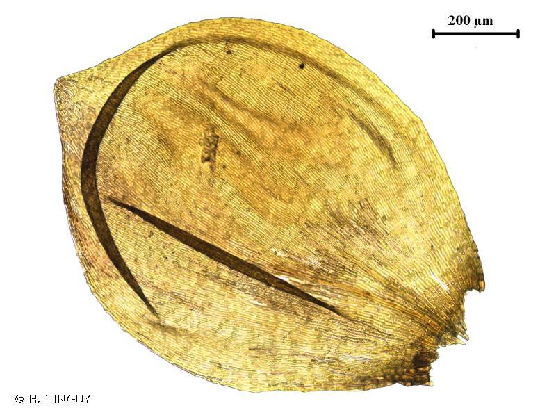 Platyhypnum duriusculum