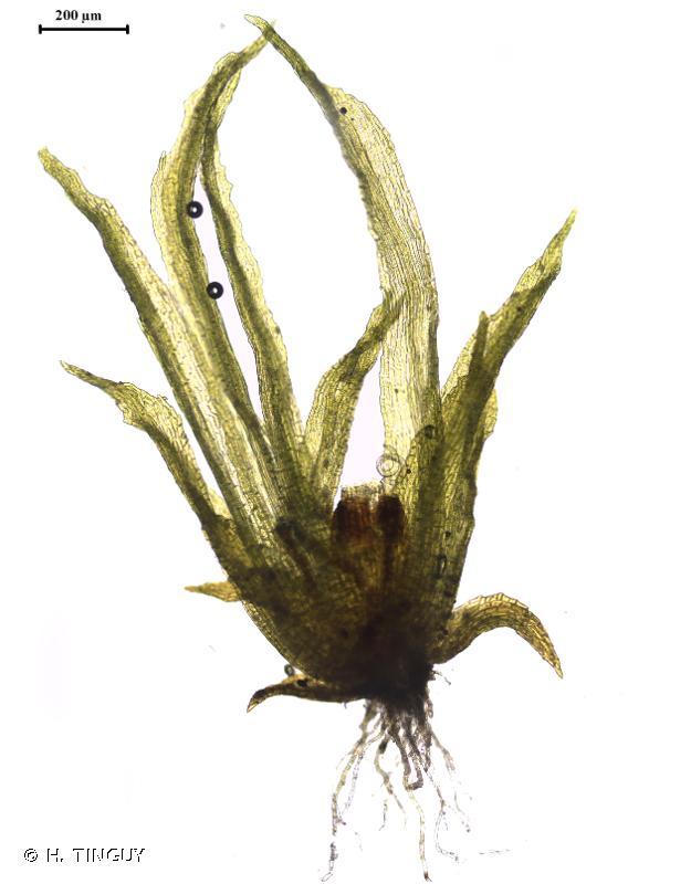 Ephemerum recurvifolium