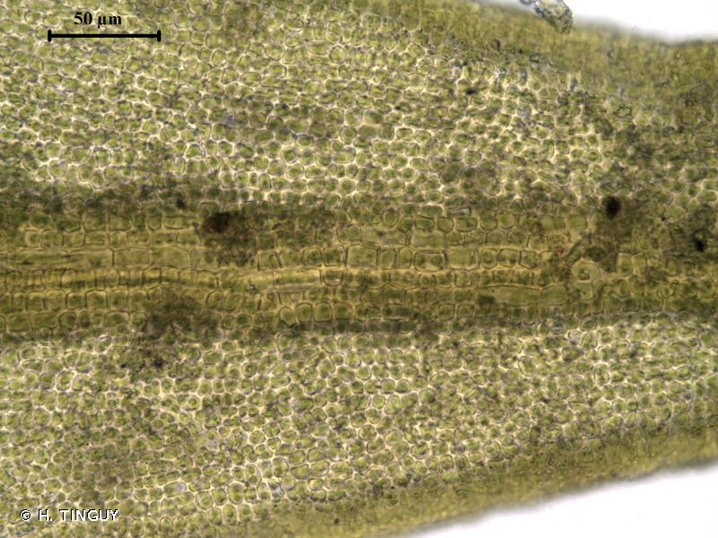 Didymodon nicholsonii