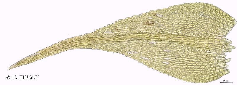 Hygroamblystegium varium