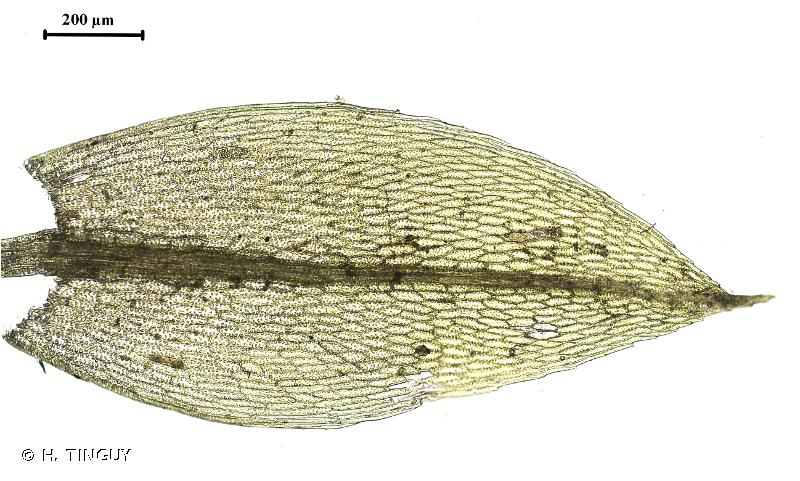 Ptychostomum rubens