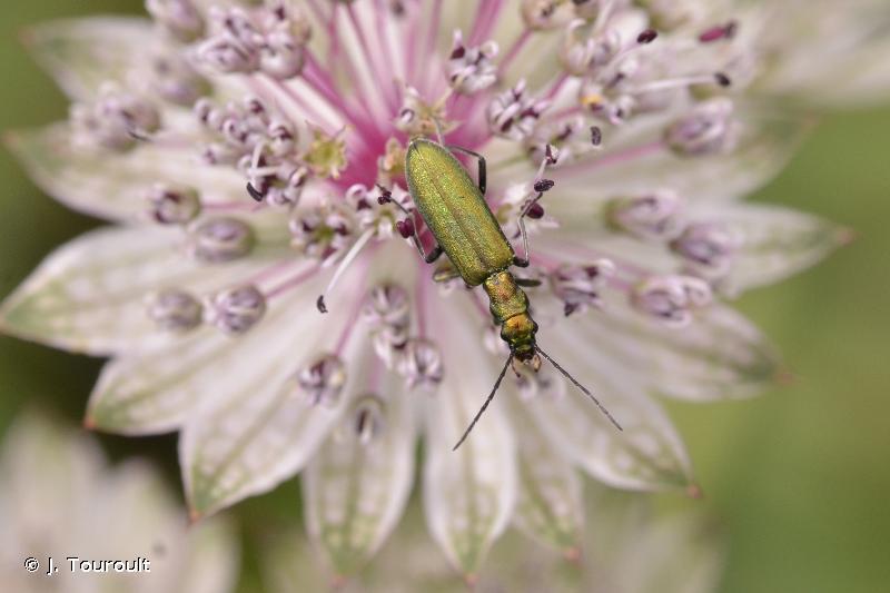 Chrysanthia viridissima