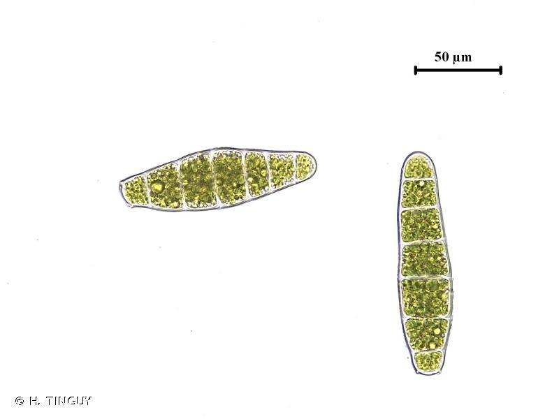 Zygodon conoideus