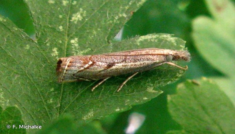 Agriphila geniculea