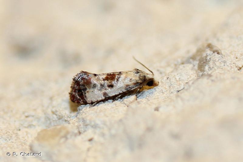 Cochylis hybridella