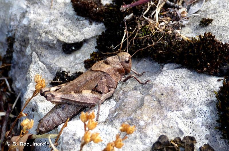 Psophus stridulus