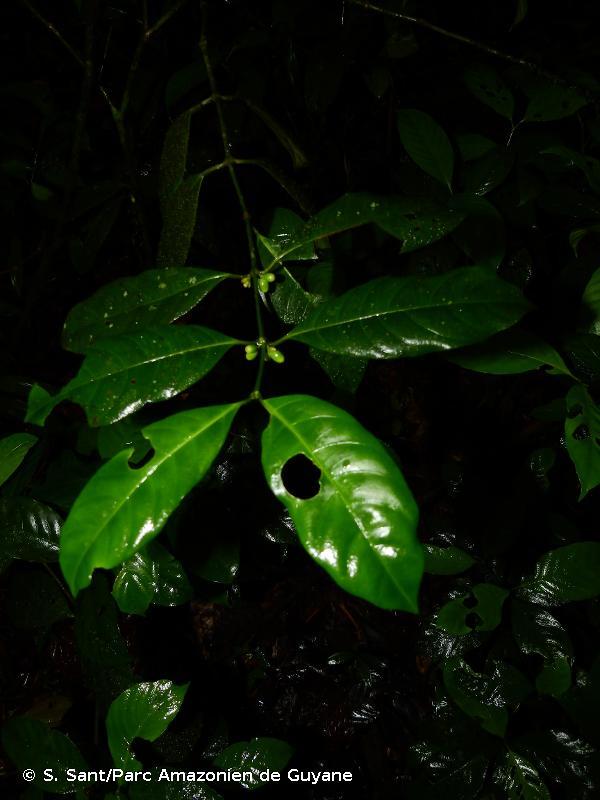 Ronabea latifolia