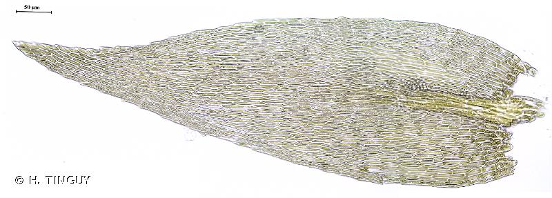 Rhynchostegiella curviseta