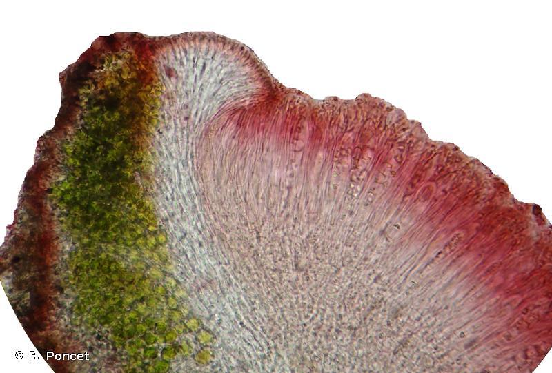 Caloplaca crenularia