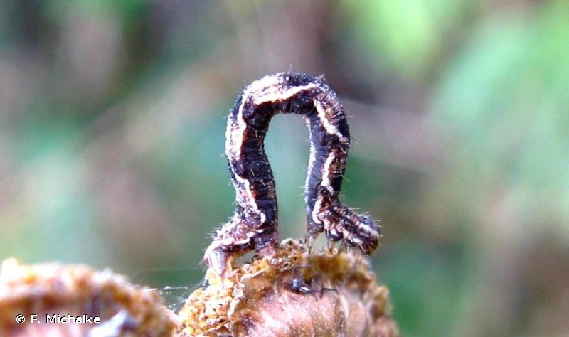 Eupithecia virgaureata