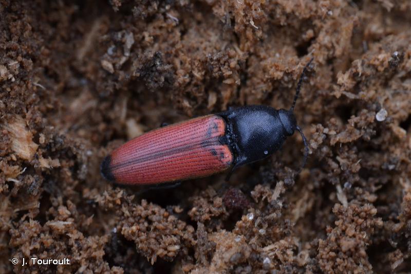Ampedus praeustus
