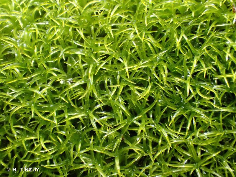 Amphidium mougeotii