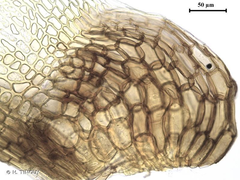 Campylopus atrovirens