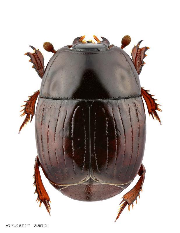 Atholus duodecimstriatus