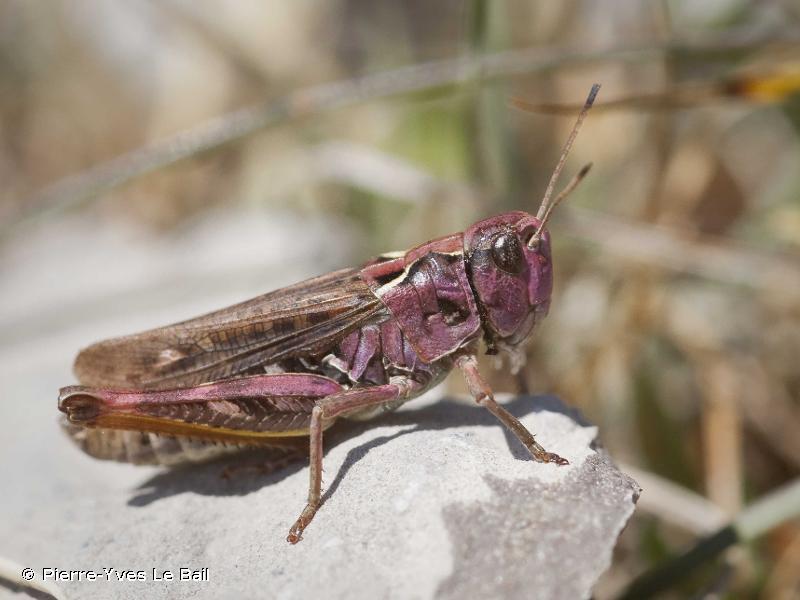 Omocestus viridulus