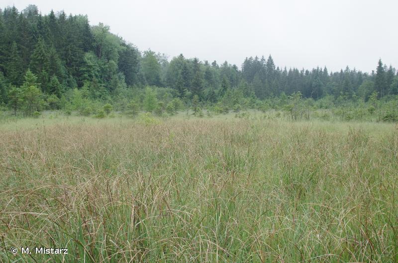 7210 - Marais calcaires à <em>Cladium mariscus</em> et espèces du <em>Caricion davallianae</em> - Habitats d'intérêt communautaire