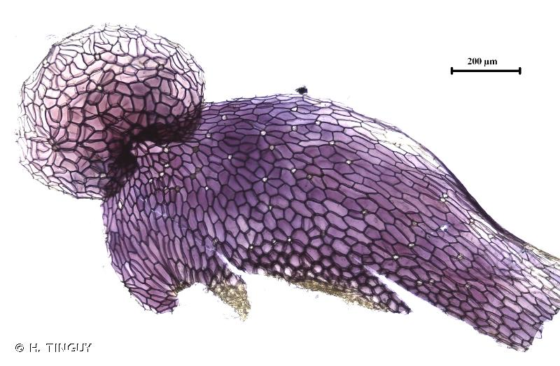 Conocephalum salebrosum